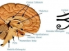 eye_of_horus_thalamus_brain