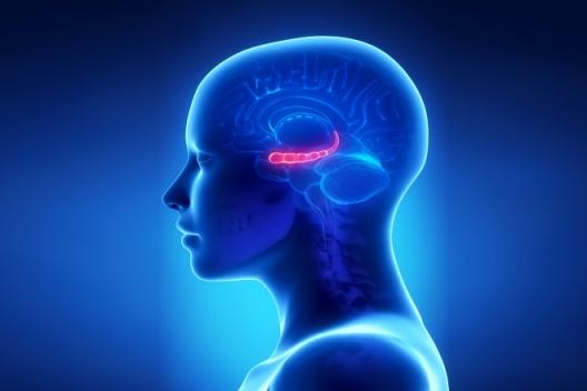 гиппокамп в человеческом мозге