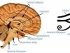 eye_of_horus_thalamus_brain