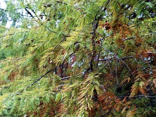 Метасеквойя (Metasequoia)