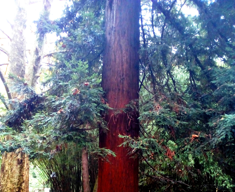 Секвойя-Sequoia